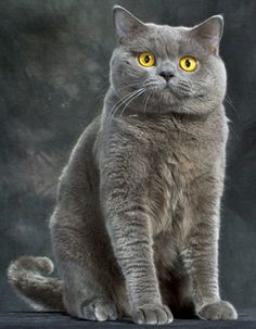 British shorthairholy cow I need those cheeks
