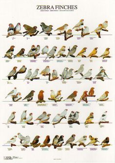 Zebra Finch Mutations | Zebra Finch Mutations Color Pictures