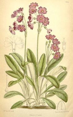 4521 Primula rusbyi Greene / Curtis's Botanical Magazine, vol. 114 [ser. 3, vol. 44]: t. 7032 (1888) [M. Smith]