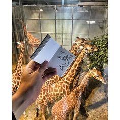 Good Morning ! #Elyxyak #Girafes #ZooDeVincennes #mitfordatthefashionzoo