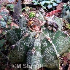 Foto 20_Astrophytum