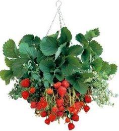 Grow Strawberries In Hanging Baskets