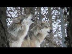 2de90148c69c4 Grey wolves howling Beautiful Wolves