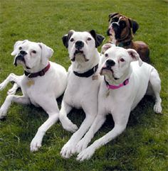 Do Boxers Shed? however, Boxers have the reputation of not shedding because they do not have long, furry double coats. White Boxer Dogs, Boxer And Baby, White Boxers, Boxer Love, Baby Dogs, Pet Dogs, Doggies, Boxer Dog Breed, Boxer Bulldog