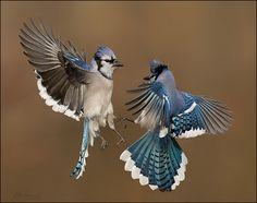 Blue Jay Fight  12-13 by www.studebakerbirds.com, via Flickr