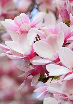Magnolia pink flowers -would be pretty for a spring wedding :) My Flower, Pretty In Pink, Beautiful Flowers, Beautiful Gorgeous, Magnolia Trees, Sweet Magnolia, Spring Flowers, Spring Blooms, Silk Flowers