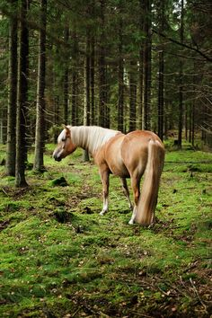 "Finnhorse (Finland) - ""Average height ca. 155 cm (under 147 cm for pony type) All The Pretty Horses, Beautiful Horses, Helsinki, Haflinger Horse, Types Of Horses, All About Horses, Majestic Horse, Palomino, Horse Love"