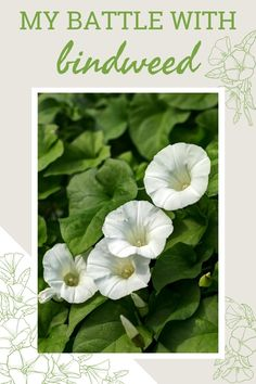 The first time I saw bindweed in my flower bed, I though it looked pretty. Now, I can't look at the thing without a sense of dread. Click the link to read about my battle with bindweed. Flower Beds, My Flower, Flowers, Compost Tumbler, Weed Control, Garden Planning, How To Look Pretty, Battle, Home And Garden