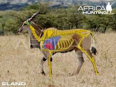 Image result for african+game+bow+kill+shot+placement Africa Hunting, Boar Hunting, Giraffe, Elephant, Impala, Shots, Rifles, Animals, Derby