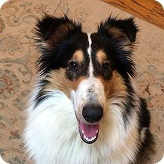 Powell, OH - Collie. Meet Jodi, a puppy for adoption. http://www.adoptapet.com/pet/14849607-powell-ohio-collie