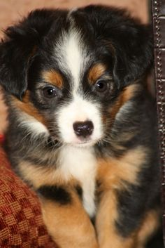 Quality Tiny Toy Austrailian Shepherds for sale, home raised and pampered for the first 8 weeks, before going to their new homes. Miniature Aussie, Miniature Australian Shepherd Puppies, Miniature American Shepherd, Mini Australian Shepherds, Super Cute Puppies, Cute Dogs, Aussie Puppies, Dogs And Puppies, Mini Aussie Shepherd