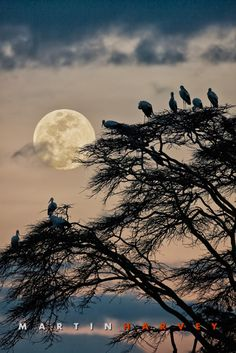 Full moon rising and silhouetting white storks roosting on a fever tree. Lewa Wildlife Conservancy, north Kenya.