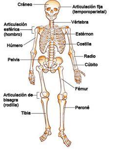 Medical Spanish Terminology  | Los huesos, los músculos y las articulaciones