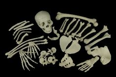 24 assorted replica bones, including 1 skull, $60