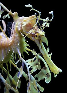 """""""Sea dragons are some of the most ornately camouflaged creatures on the planet. Adorned with gossamer, leaf-shaped appendages over their entire bodies, they are perfectly outfitted to blend in with the seaweed and kelp formations they live amongst."""