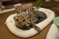 San+Diego+Zoo+Animals | cheetah, shows off her pearly whites atthe San Diego Zoo's Wild Animal ...