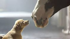 Golden Retriever in Budweiser Clydesdale Commercial