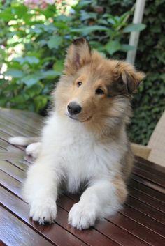 Skippy Rough Collie puppy ~ ears: 1 up, 1 down. Rough Collie Puppy, Collie Puppies, Collie Dog, Beautiful Dogs, Animals Beautiful, Shetland Sheepdog Puppies, Baby Animals, Cute Animals, Really Cute Puppies