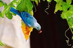 Blue saki - Guyana, South America