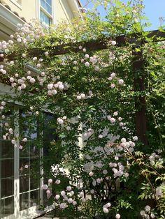Paul's Himarayan Musk --- grew this one on bridge in my Mississippi garden Rain Garden, Garden Styles, Mississippi, Gypsy, Flora, Bridge, Gardens, Rose, Spring