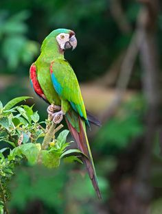 Ara severa - Chestnut-fronted Macaw