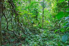 Der Regenwald Taman Negara.