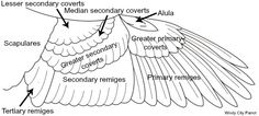 diagram - anatomy of a bird's wing feather structure