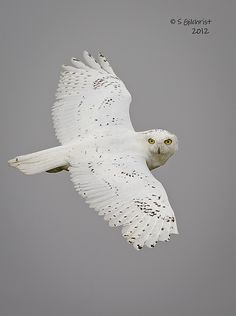 Snowy Owl by a different Steve Gilchrist. Awesome.