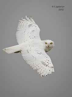 Snowy Owl by Steve Gilchrist