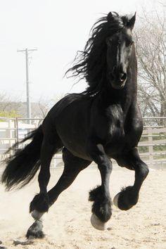Friesian stallion, Apollo