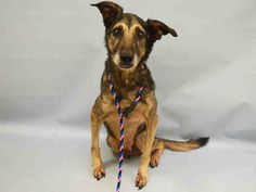 SAFE - 01/09/16 - **SENIOR ALERT** - HARRY - #A1062399 - Super Urgent Manhattan - NEUTERED MALE BROWN AND BLACK GERM SHEPHERD MIX, 11 Yrs - OWNER SUR - ONHOLDHERE, HOLD FOR ID Reason NEW BABY - Intake 01/06/16 Due Out 01/06/16