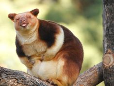 Turns Out Tree-Kangaroos Exist, And It's Impossible To Scroll Down This List Without Smiling #Kangaroos