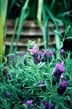 RHS Plant Selector Lavandula stoechas subsp. stoechas / RHS Gardening
