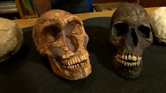 """""""Neanderthal large eyes 'made them extinct.'"""" A study (published in Proceedings of the Royal Society B Journal) shows that Neanderthal skulls indicate they had larger eyes than Homo Sapiens. This suggests that more of their brain was devoted to seeing and less to high-level processing, contributing to their extinction. Video here: http://www.bbc.co.uk/news/science-environment-21759233"""