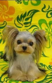 This looks like a cross between a yorkie and a chihuahua...10 times cuter!!!!