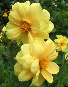 Yellow flowers commonly evoke feelings of happiness and cheer, which is exactly what they symbolize. Types Of Flowers, Real Flowers, Yellow Flowers, Beautiful Flowers, Yellow Plants, Beautiful Things, Daisy, Rare Orchids, Garden Journal