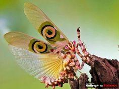 Spiny Flower Mantis (pseudocredobotra wahlbergii)
