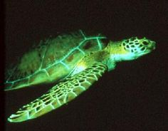 Florida's Sea Turtles - photos and information for each of Florida's 5 sea turtle species