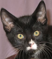 Adonis is an #adoptable neutered male Domestic Short Hair #kitten in Jefferson, WI. #adoptablecat