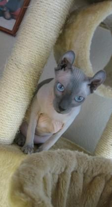 Elf Cats and Kittens, Hairless Cats, from Vanyar Elf Cats in Arizona Hairless Cats, Sphynx Cat, Exotic Cat Breeds, Elf Cat, Purebred Cats, Mixed Breed, Cats And Kittens, Arizona, Favorite Things