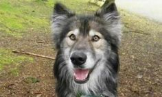 Jim - a 1 yr old Malamute-German Shepherd mix - was ADOPTED! from the Seattle Humane Society, April 2014