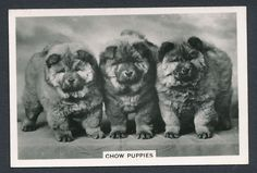 Chow Puppies from series Dogs by Senior Service Cigarettes card #31