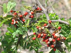 Wild Berries - Don't eat them!