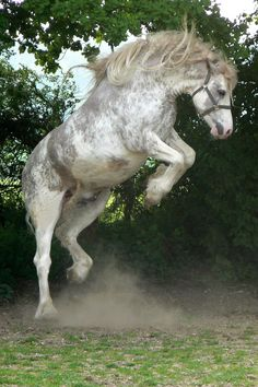 Flight of fancy, horse rearing into almost a jump. Dapple grey, but almost a paint. Most Beautiful Animals, Beautiful Horses, Beautiful Creatures, Majestic Horse, Majestic Animals, Horse Photos, Horse Pictures, Photo Animaliere, All The Pretty Horses
