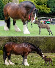 This giant Clydesdale and his tiny donkey friend make the most ADORABLE animal pair! Big Horses, Pretty Horses, Horse Love, Beautiful Horses, Animals Beautiful, Cute Baby Animals, Farm Animals, Animals And Pets, Funny Animals