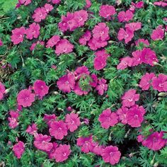 Hardy Pink Geranium 12-18 in early to late spring and sporadically til fall