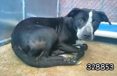 KINSEY - ID#A328853 I am a spayed female, black and white Shepherd (?) blend. The shelter staff think I am about 1 year and 4 months old. http://www.petharbor.com/pet.asp?uaid=SANT.A328853