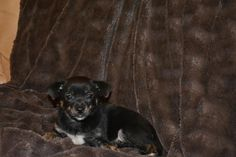 Sally is 9 weeks old and looking for her forever family. She's a super sweet lil baby girl