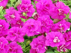 There's nothing shy about this fuchsia-pink, doubled petunia. It's a trailer with good resistance to wind, rain and humidity.