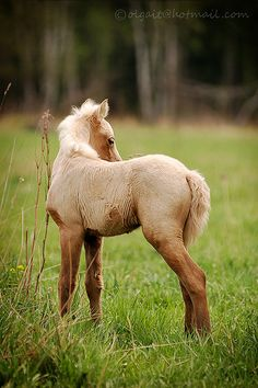 Foal palomino welsh mountain pony - Colt